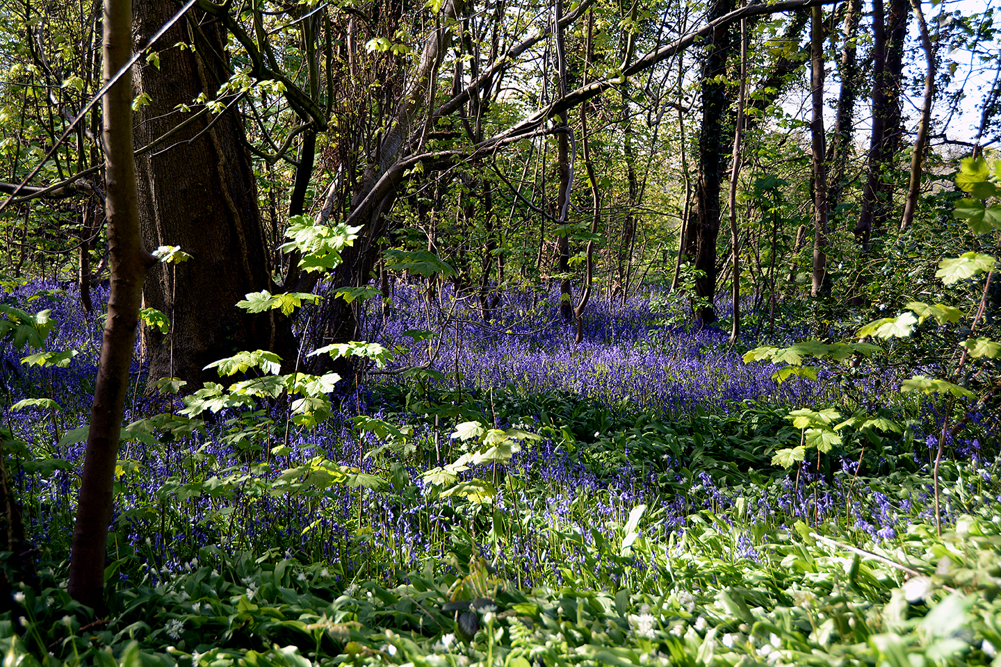 Bluebell woods in Spring